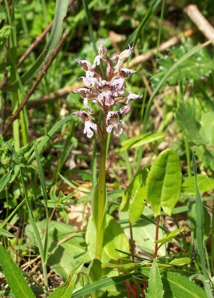 Neotinea lactea (Poir.) R.M.Bateman, Pridgeon & M.W.Chase