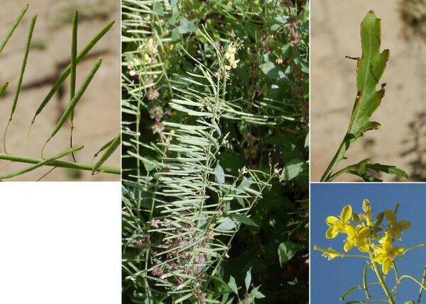 Diplotaxis harra (Forssk.) Boiss. subsp. crassifolia (Raf.) Maire
