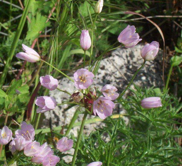 Allium roseum L. var. bulbilliferum Vis.