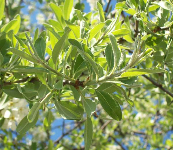 Pyrus spinosa Forssk.