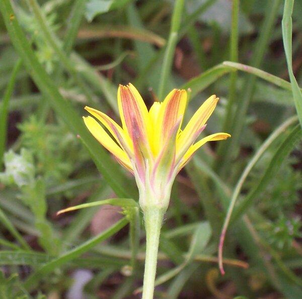 Scorzonera villosa Scop. subsp. columnae (Guss.) Nyman