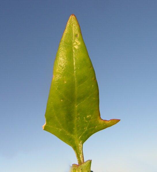 Atriplex rosea L.