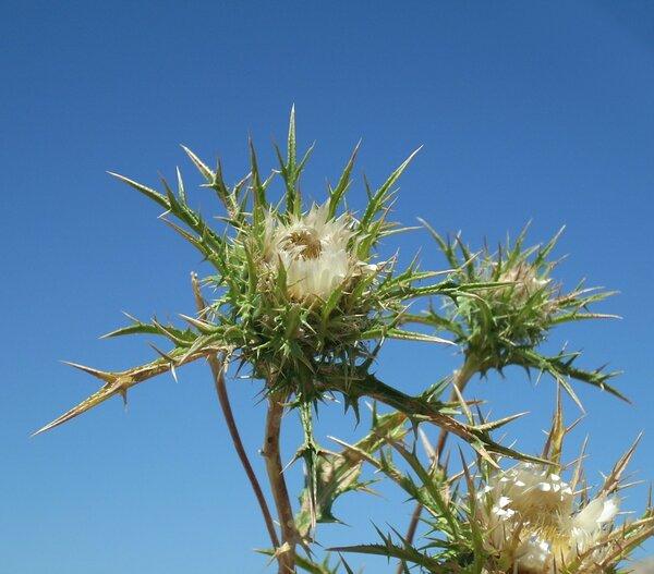 Carlina sicula Ten. subsp. sicula