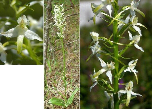 Platanthera bifolia (L.) Rich.