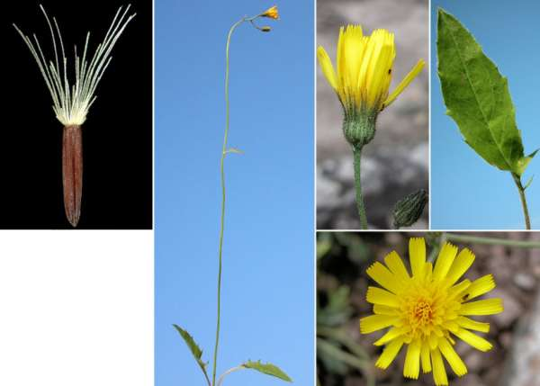 Hieracium bifidum Kit. ex Hornem.