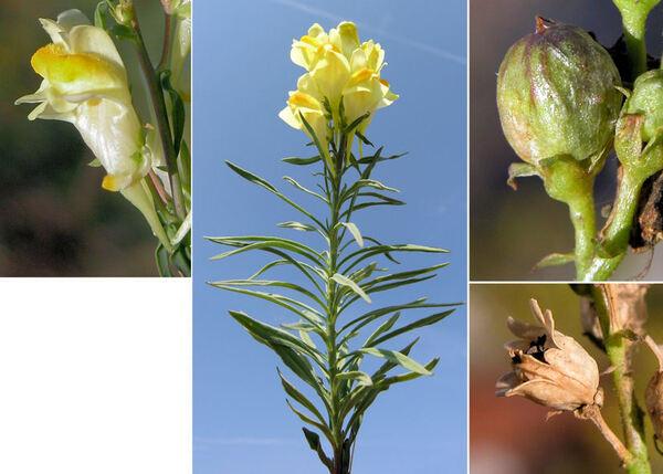 Linaria vulgaris Mill. subsp. vulgaris