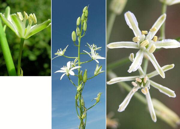 Loncomelos pyrenaicus (L.) L.D.Hrouda subsp. pyrenaicus