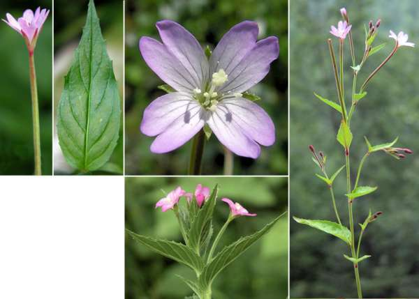 Epilobium montanum L.