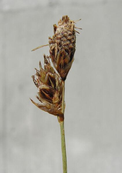 Carex macrolepis DC.