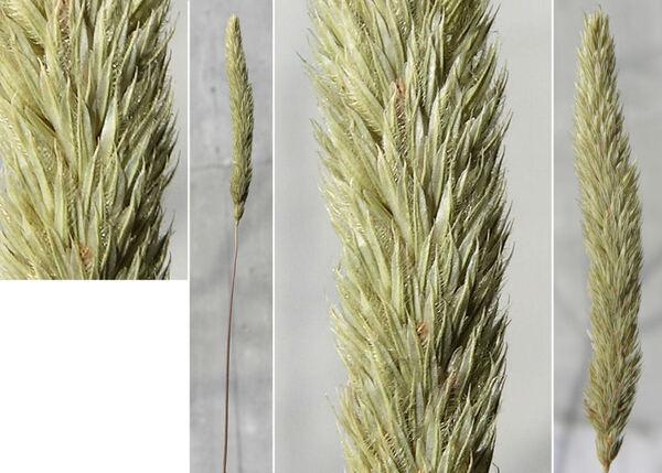 Phleum hirsutum Honck. subsp. ambiguum (Ten.) Cif. & Giacom.
