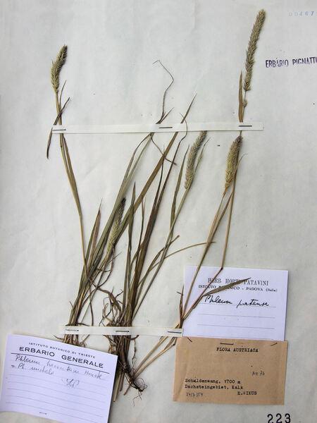 Phleum hirsutum Honck. subsp. hirsutum