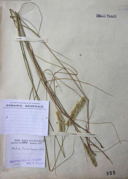 Melica transsilvanica Schur subsp. transsilvanica