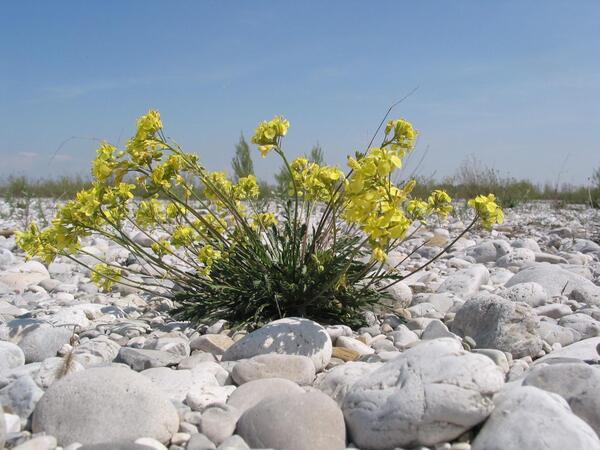 Brassica glabrescens Poldini