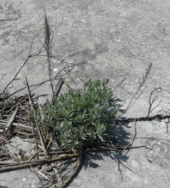 Artemisia caerulescens L. subsp. caerulescens
