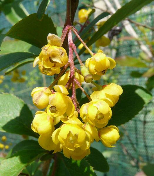 Berberis vulgaris L.