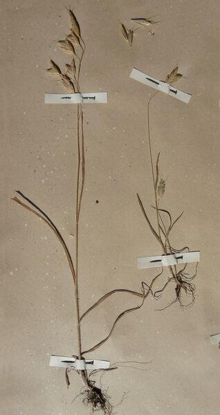 Bromus scoparius L.