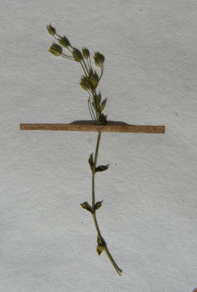 Lysimachia linum-stellatum L.
