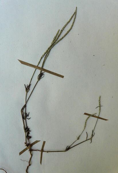 Crucianella latifolia L.