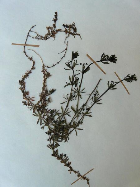 Galium tricornutum Dandy