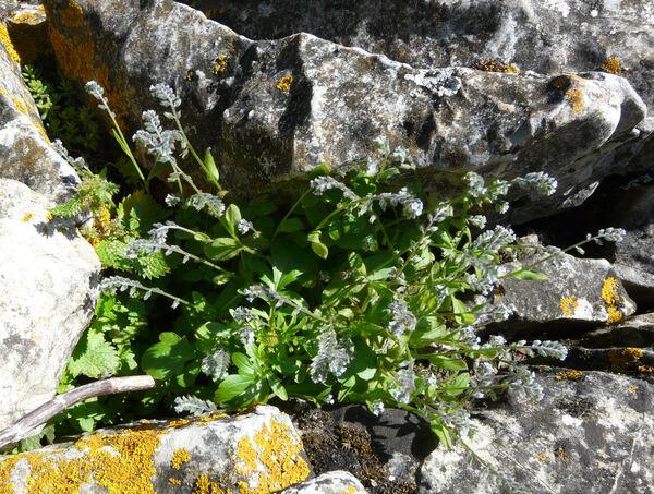 Myosotis ramosissima Rochel subsp. ramosissima