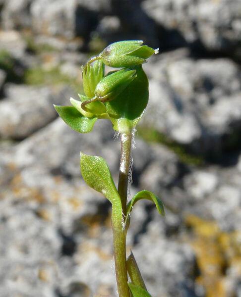 Stellaria pallida (Dumort.) Crép.