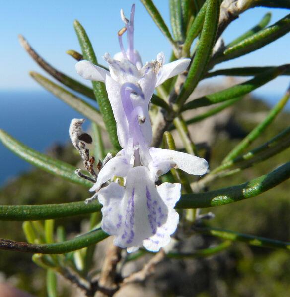 Salvia rosmarinus Spenn.