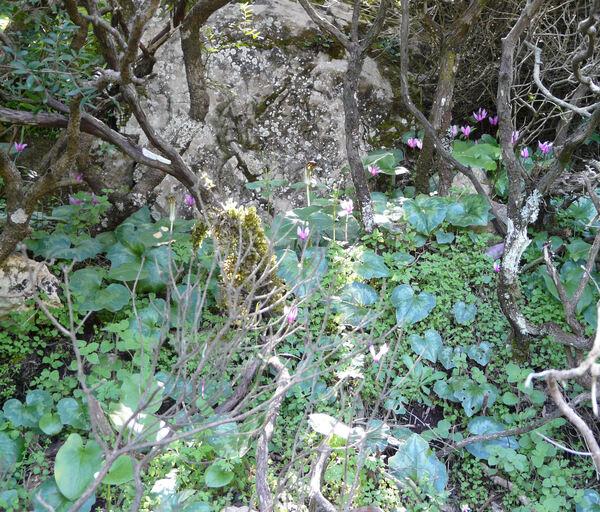 Cyclamen repandum Sm. subsp. repandum