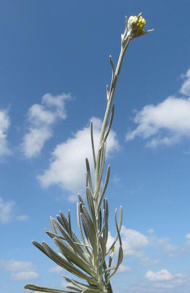 Helichrysum pendulum (C.Presl) C.Presl