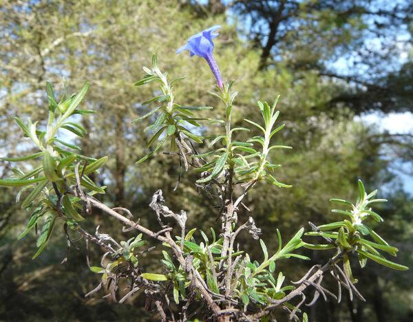 Glandora rosmarinifolia (Ten.) D.C.Thomas