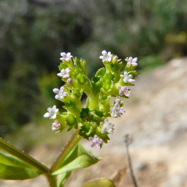 Valerianella eriocarpa Desv.