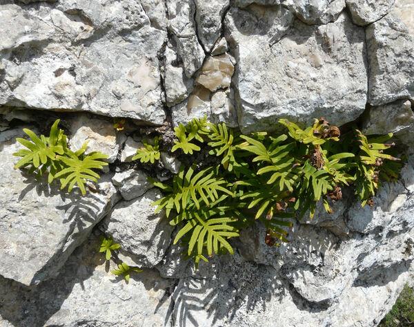 Polypodium cambricum L. subsp. serratum Willd.