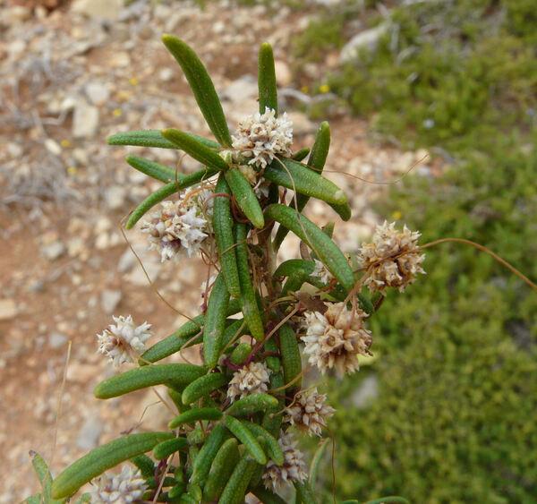 Cuscuta palaestina Boiss. subsp. palaestina
