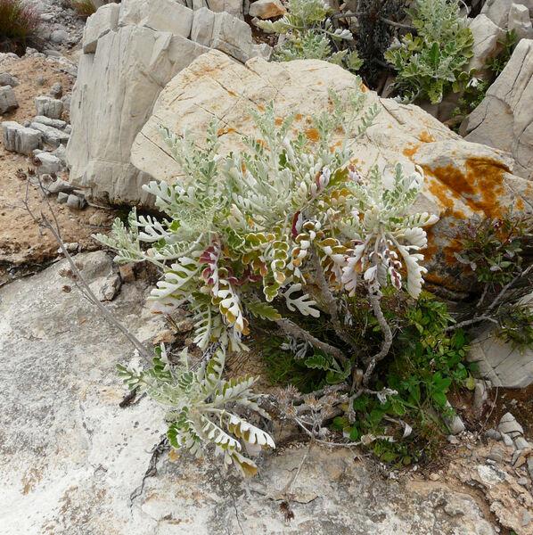Jacobaea maritima (L.) Pelser & Meijden subsp. bicolor (Willd.) B.Nord. & Greuter