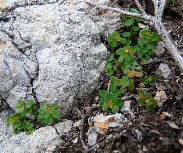 Euphorbia peplus var. peploides (Gouan) Vis,