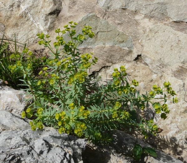 Euphorbia pinea L.