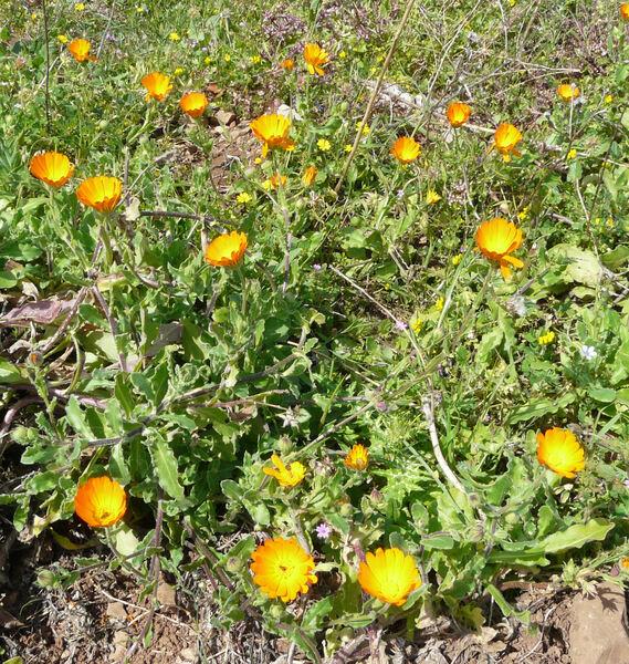 Calendula suffruticosa Vahl subsp. fulgida (Raf.) Guadagno