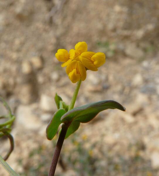 Coronilla scorpioides (L.) W.D.J.Koch