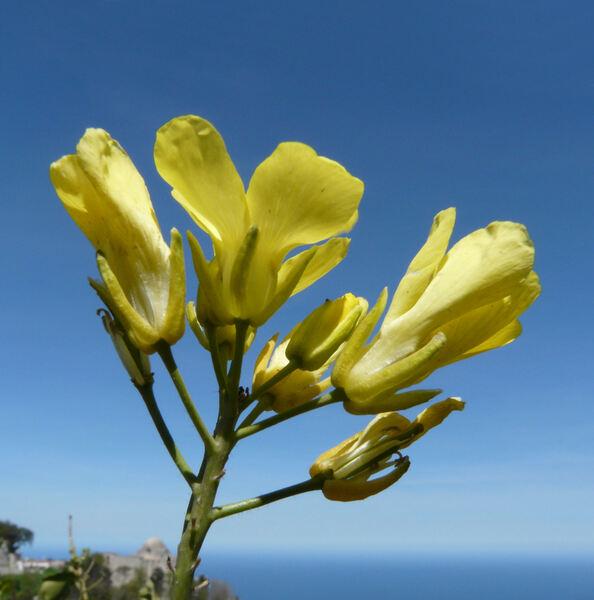 Brassica villosa Biv. subsp. drepanensis (Caruel) Raimondo & Mazzola