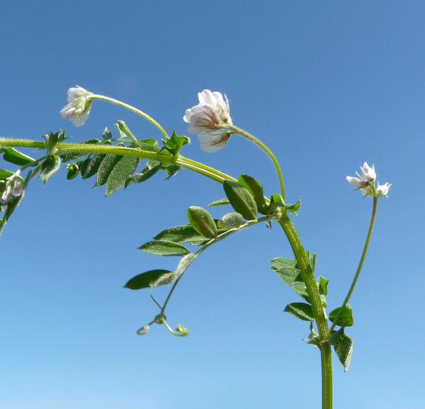Vicia leucantha Biv.