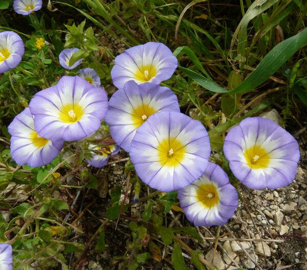 Convolvulus tricolor L. subsp. cupanianus (Tod.) Cavara & Grande