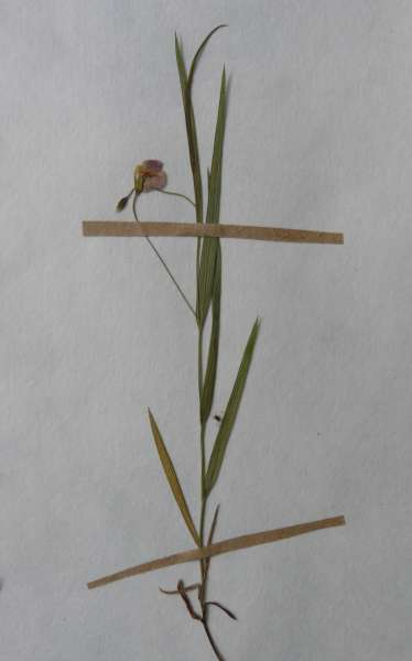 Lathyrus nissolia L.