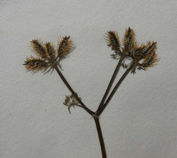 Caucalis platycarpos L.