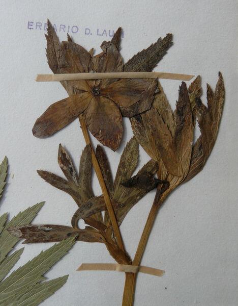 Helleborus viridis L. subsp. bocconei (Ten.) Peruzzi