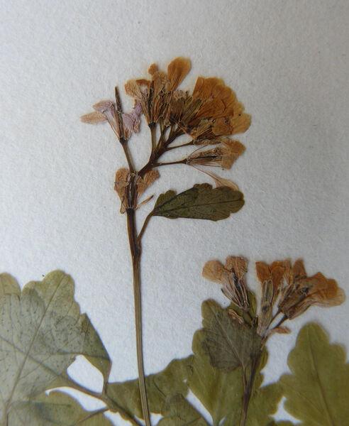 Cardamine chelidonia L.