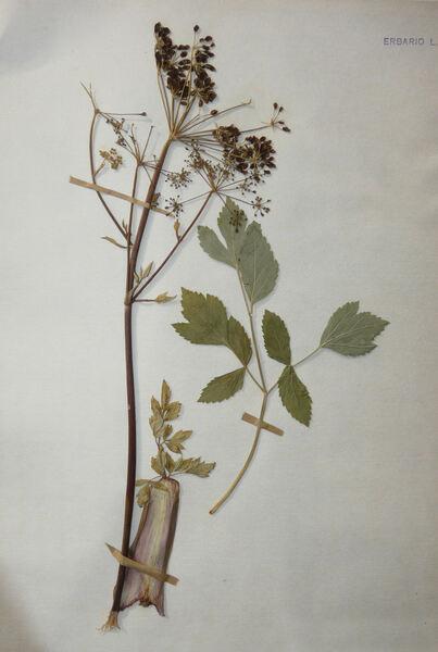 Tommasinia altissima (Mill.) Reduron