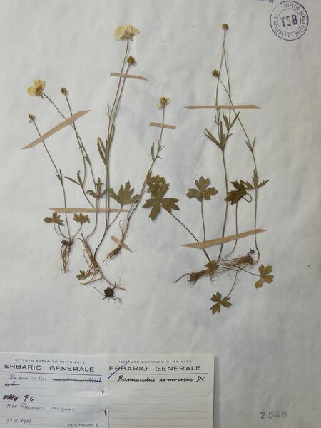 Ranunculus tuberosus Lapeyr.
