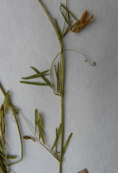 Ervum tetraspermum L.