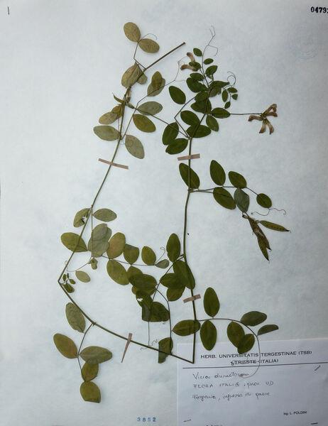 Vicia dumetorum L.