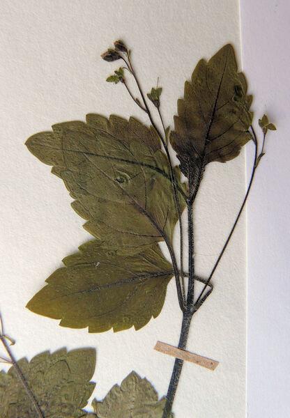 Veronica montana L.