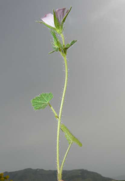 Malva cretica Cav. subsp. cretica